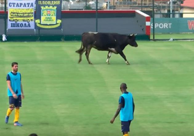 Vaca_cancha_de_futbol